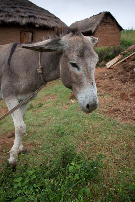 Angry donkey. Swaziland. 2005.